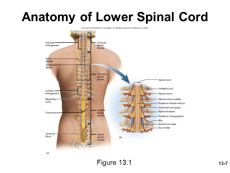 Anatomy of Lower Spinal Cord