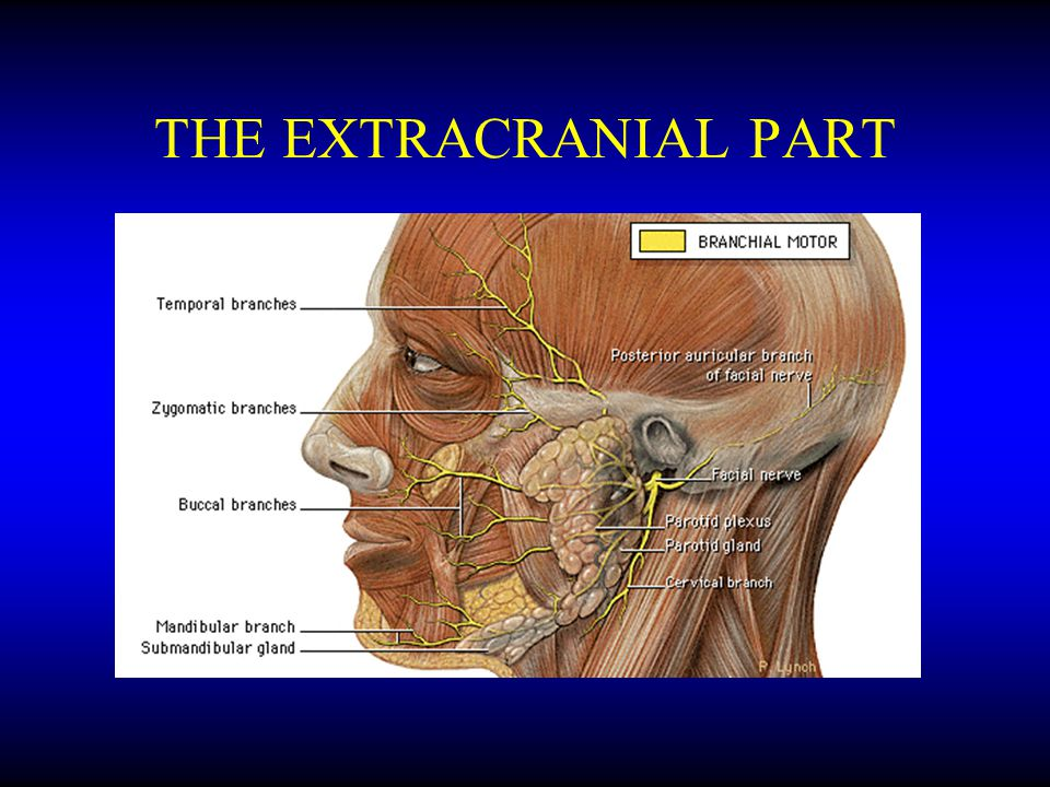 THE EXTRACRANIAL PART