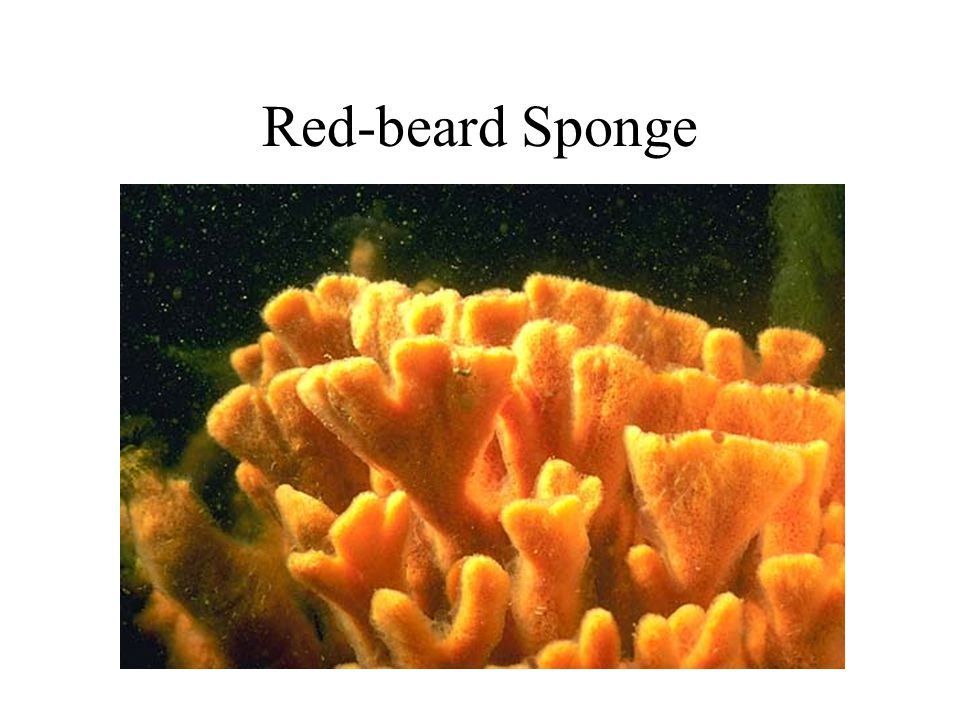 Red-beard Sponge