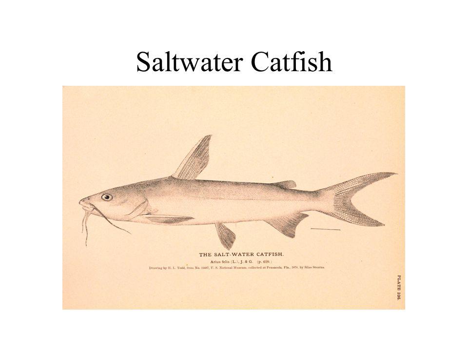 Saltwater Catfish