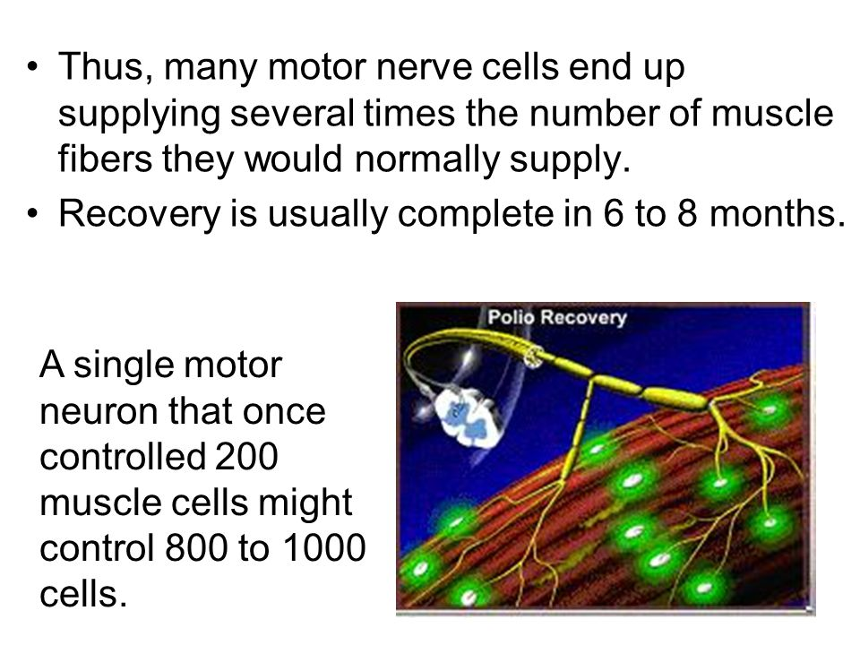 Thus, many motor nerve cells end up supplying several times the number of muscle fibers they would normally supply.