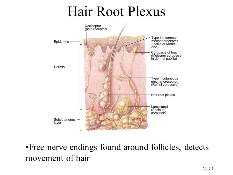 Hair Root Plexus Free nerve endings found around follicles, detects movement of hair