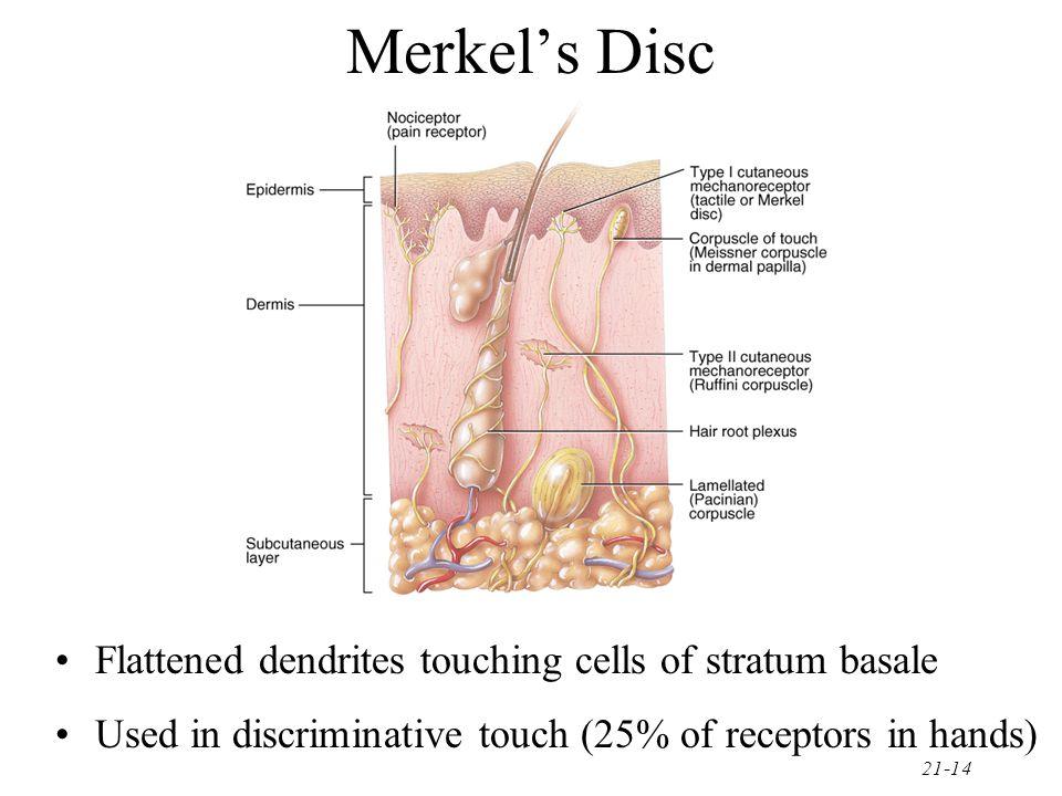Merkel's Disc Flattened dendrites touching cells of stratum basale