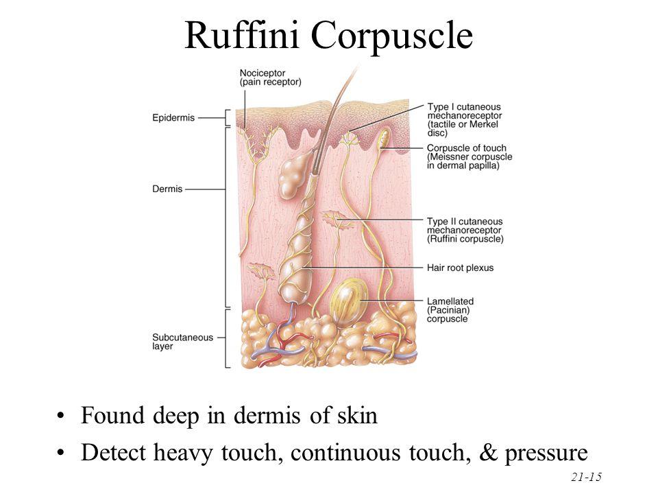 Ruffini Corpuscle Found deep in dermis of skin