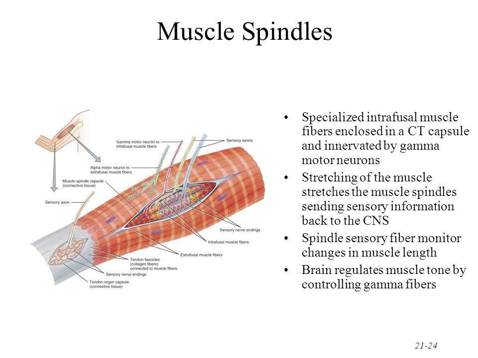 Muscle Spindles Specialized intrafusal muscle fibers enclosed in a CT capsule and innervated by gamma motor neurons.