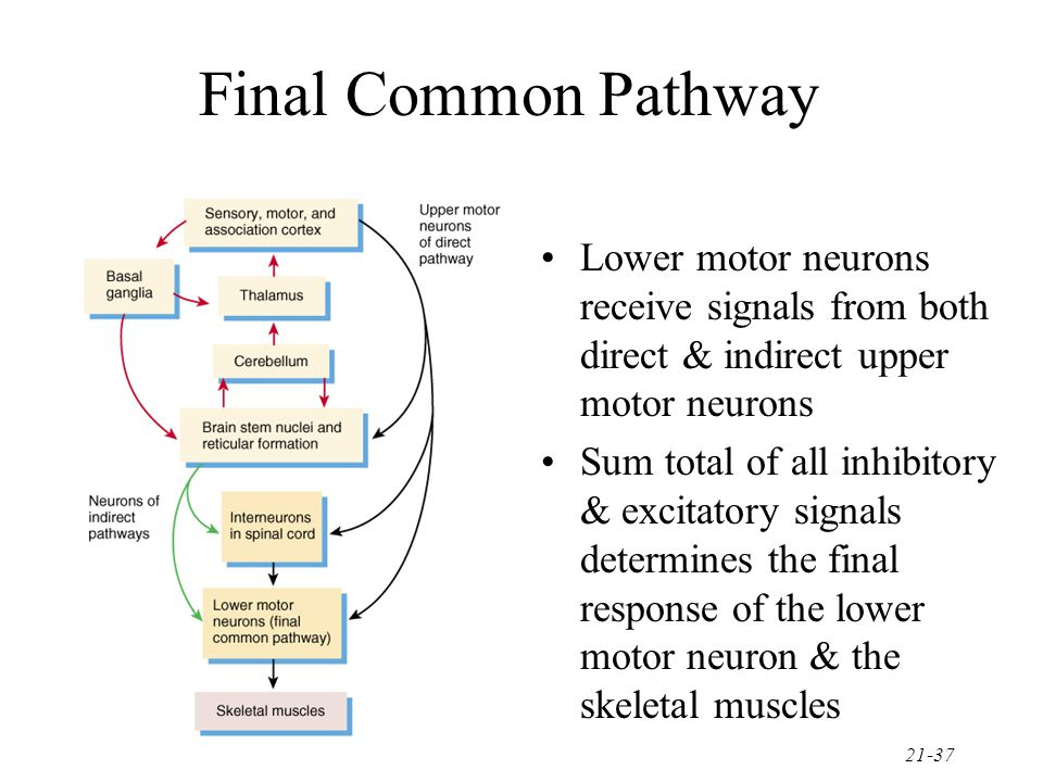 Final Common Pathway Lower motor neurons receive signals from both direct & indirect upper motor neurons.