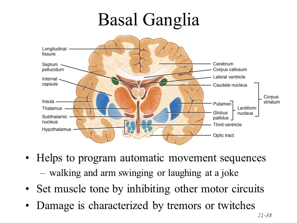 Basal Ganglia Helps to program automatic movement sequences