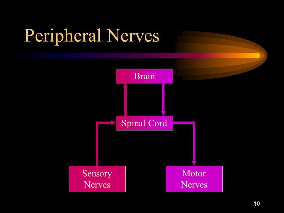 Peripheral Nerves Brain Spinal Cord Sensory Nerves Motor Nerves