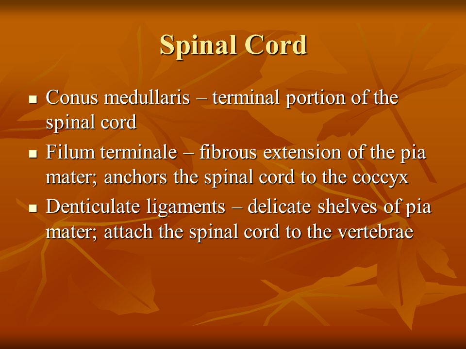 Spinal Cord Conus medullaris – terminal portion of the spinal cord