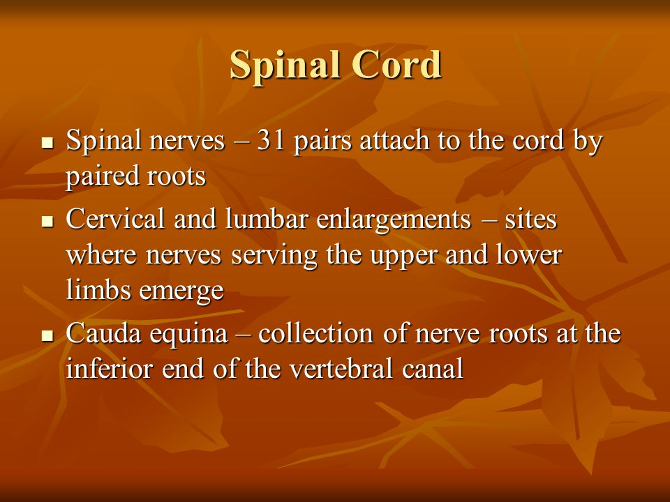 Spinal Cord Spinal nerves – 31 pairs attach to the cord by paired roots.