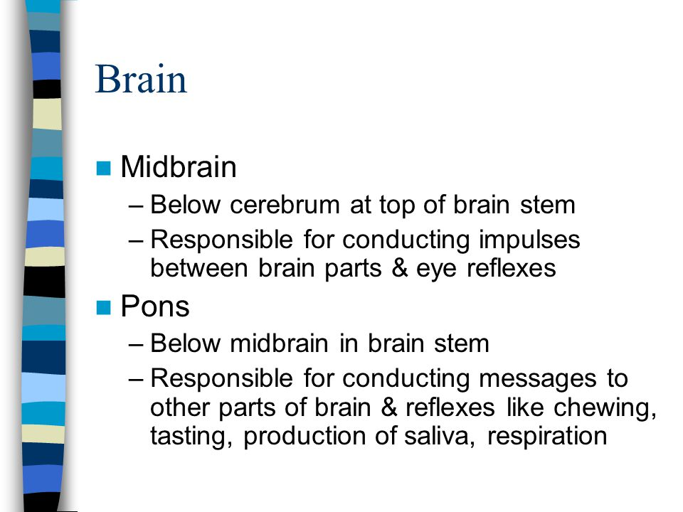 Brain Midbrain Pons Below cerebrum at top of brain stem