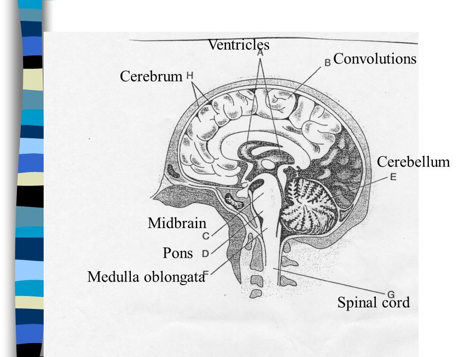 Ventricles Convolutions Cerebrum Cerebellum Midbrain Pons Medulla oblongata Spinal cord