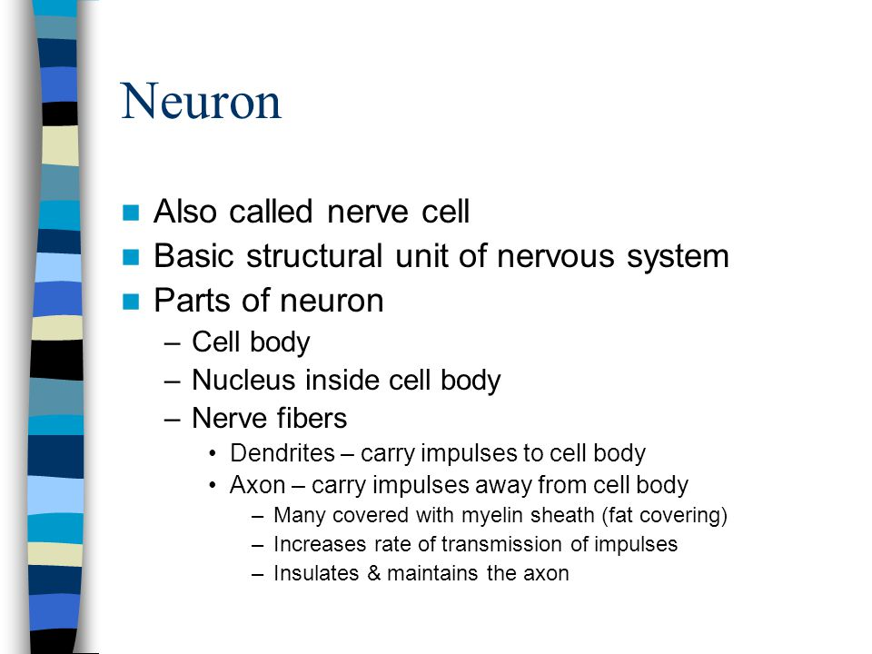 Neuron Also called nerve cell Basic structural unit of nervous system