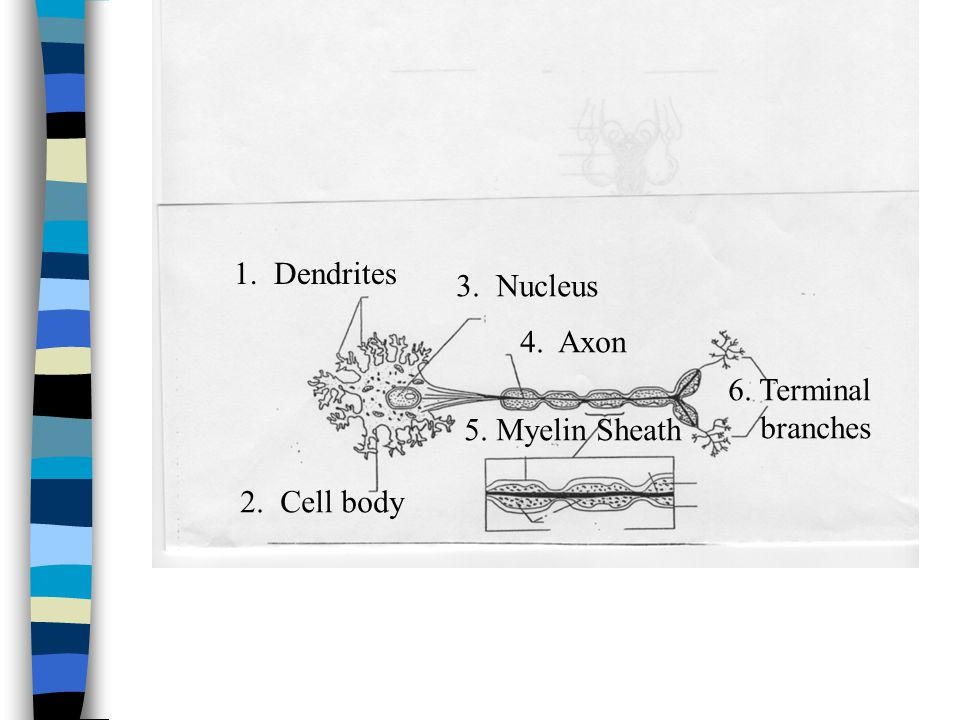 1. Dendrites 3. Nucleus 4. Axon 6. Terminal branches 5. Myelin Sheath 2. Cell body