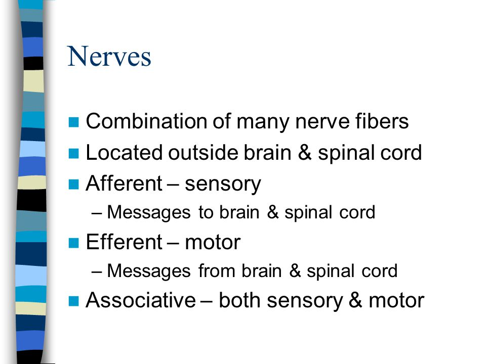 Nerves Combination of many nerve fibers