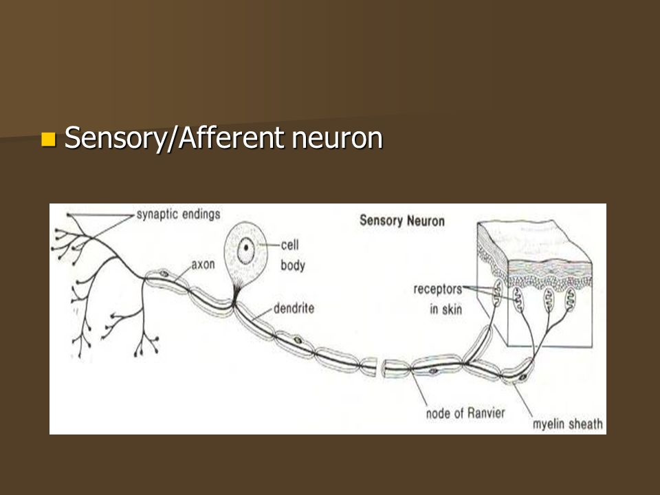 Sensory/Afferent neuron