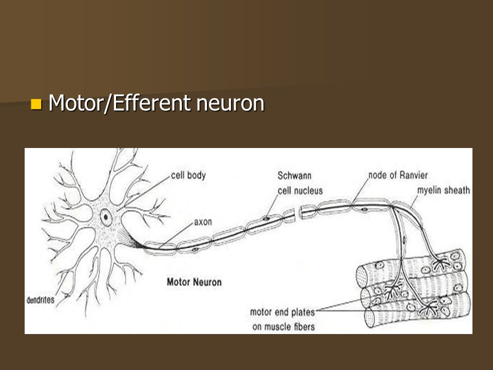 Motor/Efferent neuron