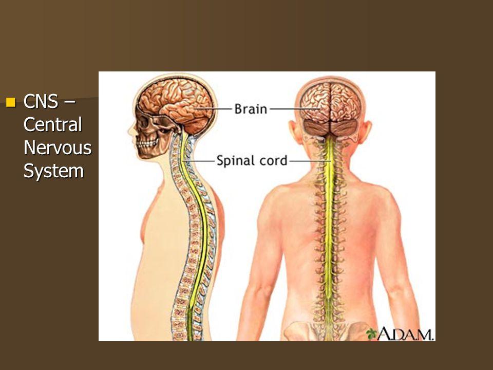 CNS – Central Nervous System
