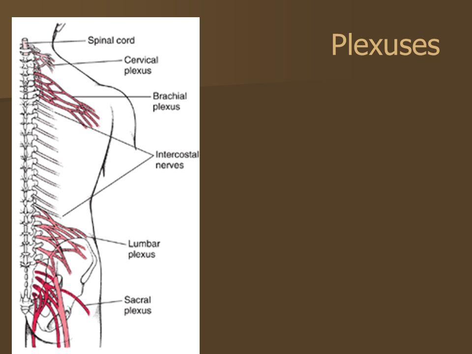 Plexuses