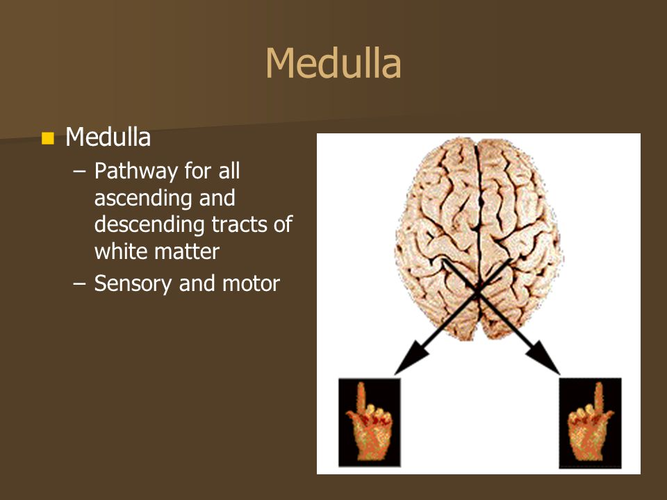Medulla Medulla Pathway for all ascending and descending tracts of white matter Sensory and motor
