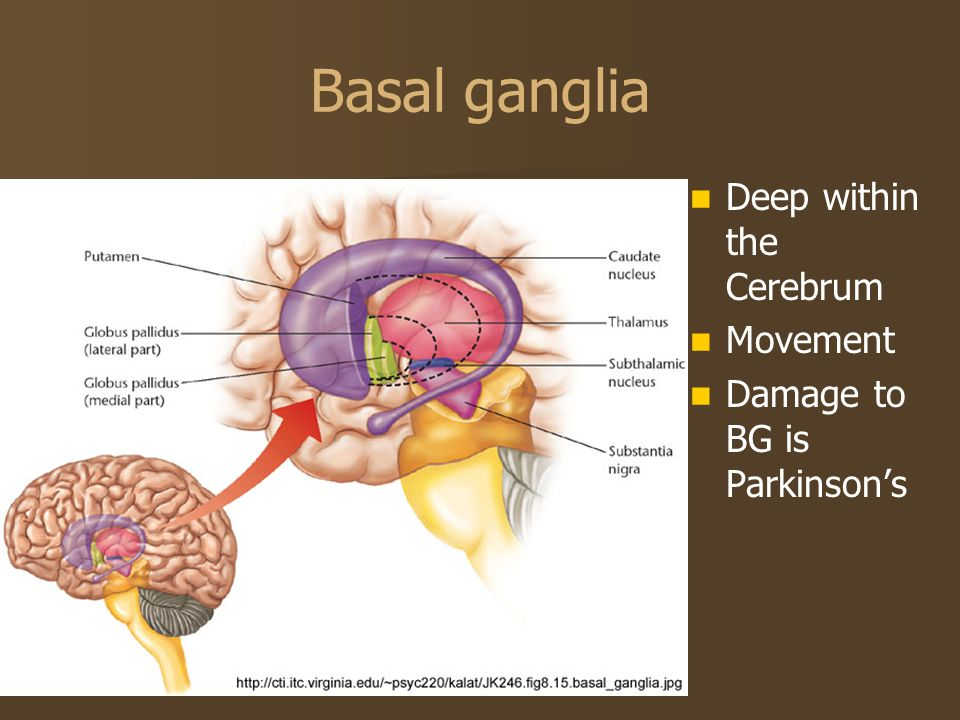 Basal ganglia Deep within the Cerebrum Movement