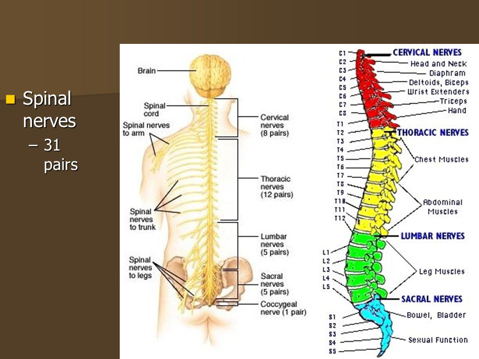 Spinal nerves 31 pairs