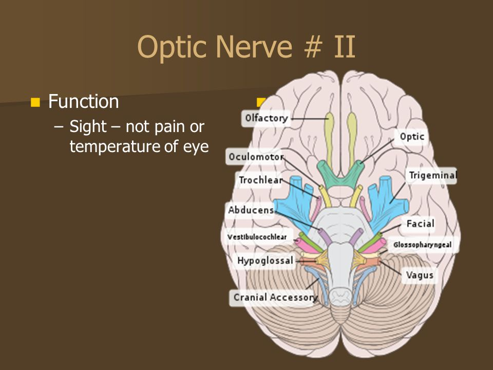 Optic Nerve # II Function Sight – not pain or temperature of eye