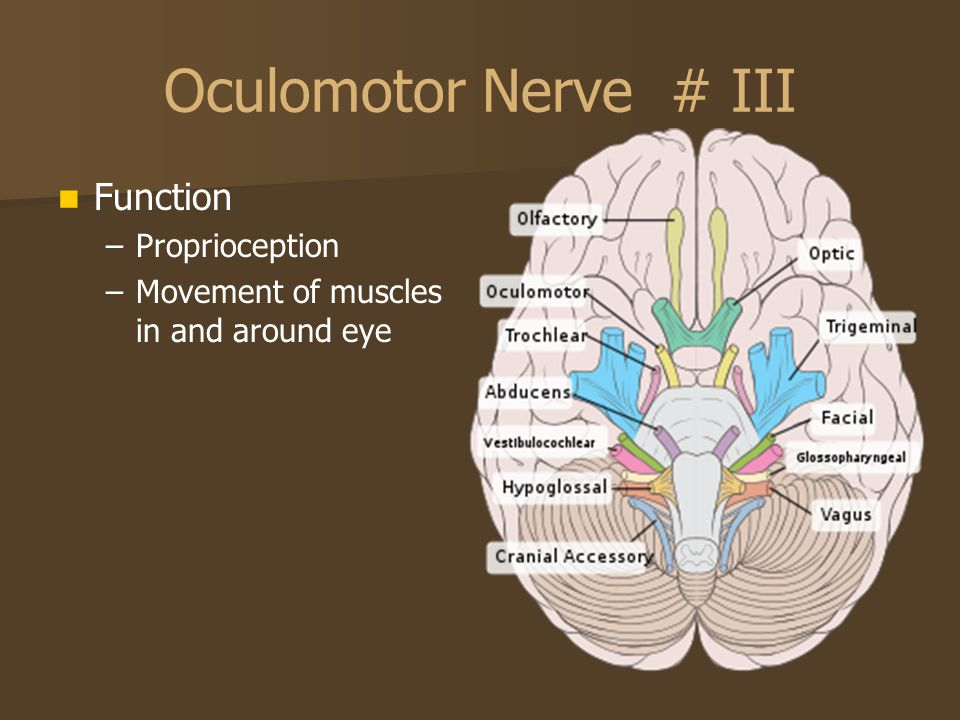 Oculomotor Nerve # III Function Proprioception