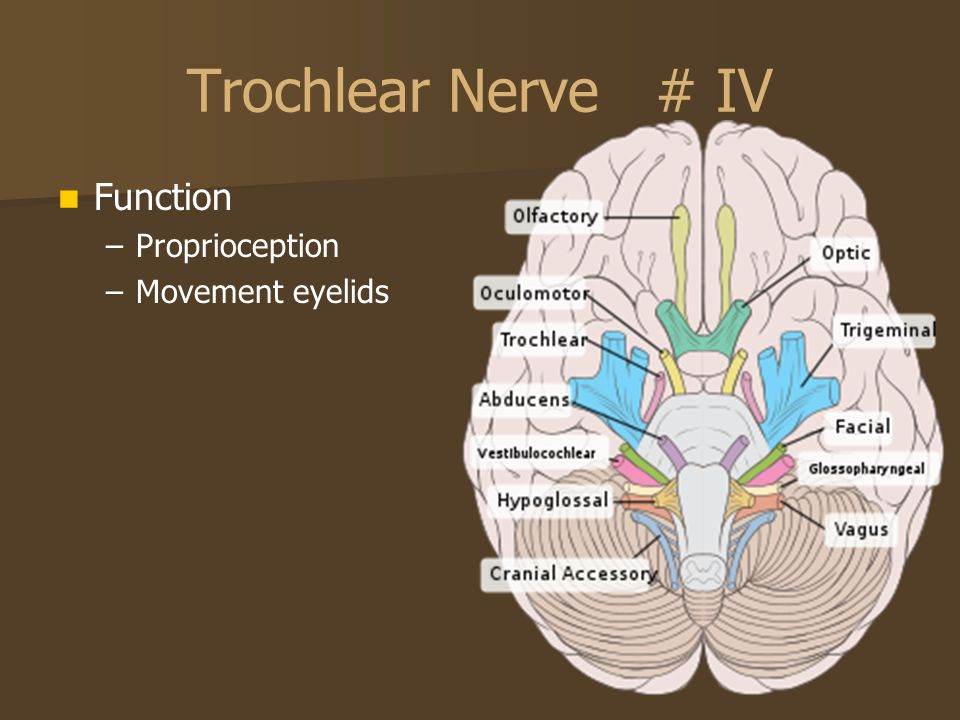 Trochlear Nerve # IV Function Proprioception Movement eyelids