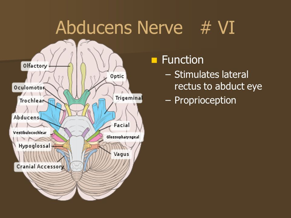Abducens Nerve # VI Function Stimulates lateral rectus to abduct eye
