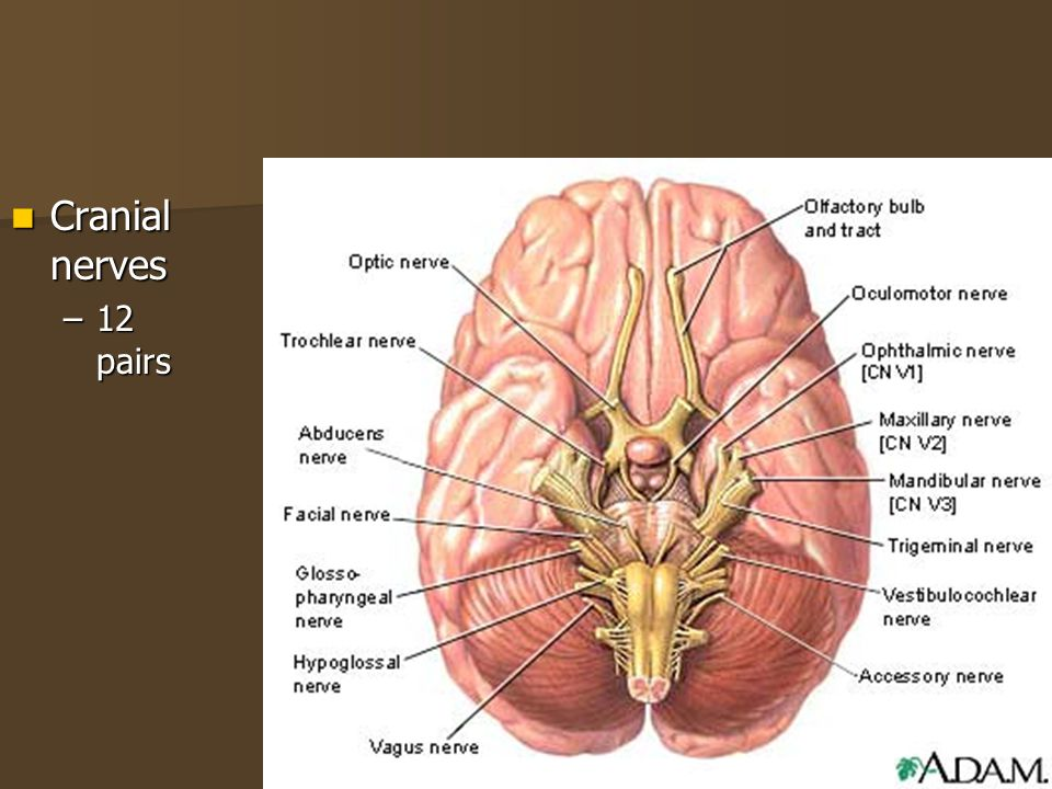 Cranial nerves 12 pairs