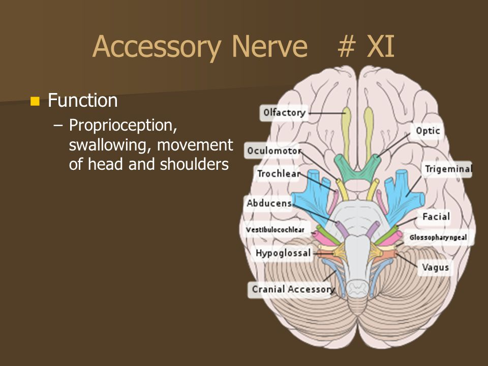 Accessory Nerve # XI Function
