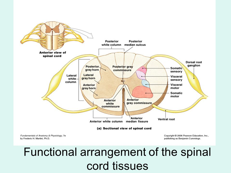 Functional arrangement of the spinal cord tissues