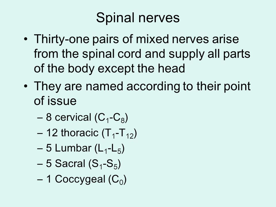 Spinal nerves Thirty-one pairs of mixed nerves arise from the spinal cord and supply all parts of the body except the head.