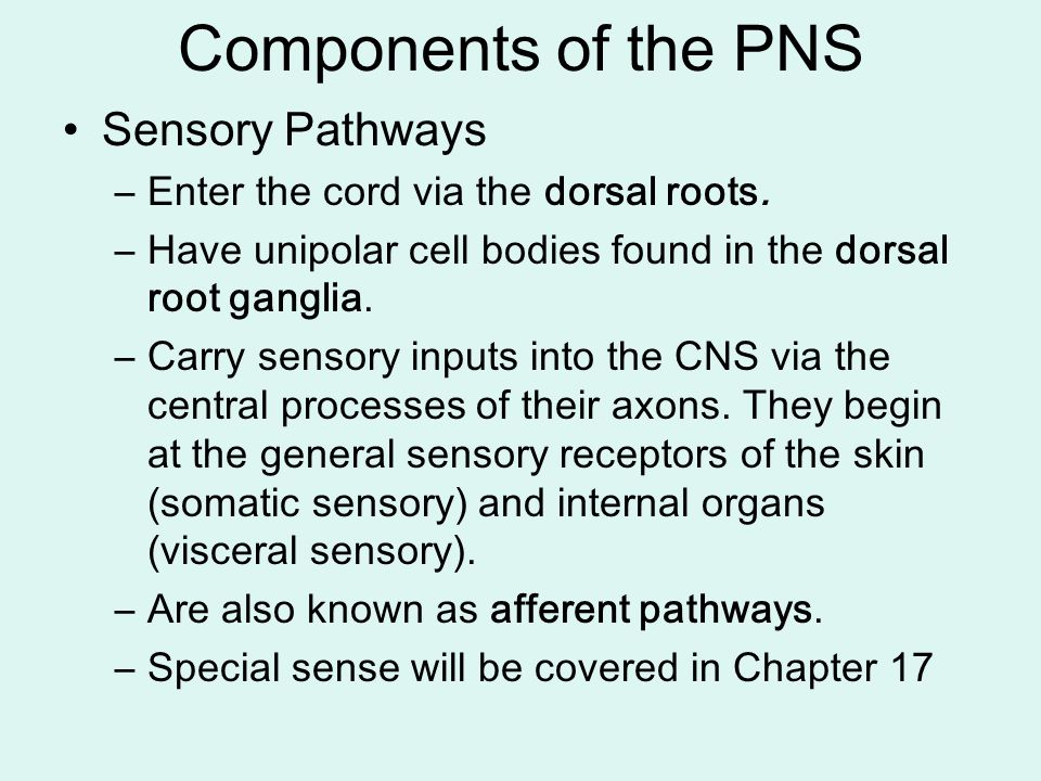 Components of the PNS Sensory Pathways