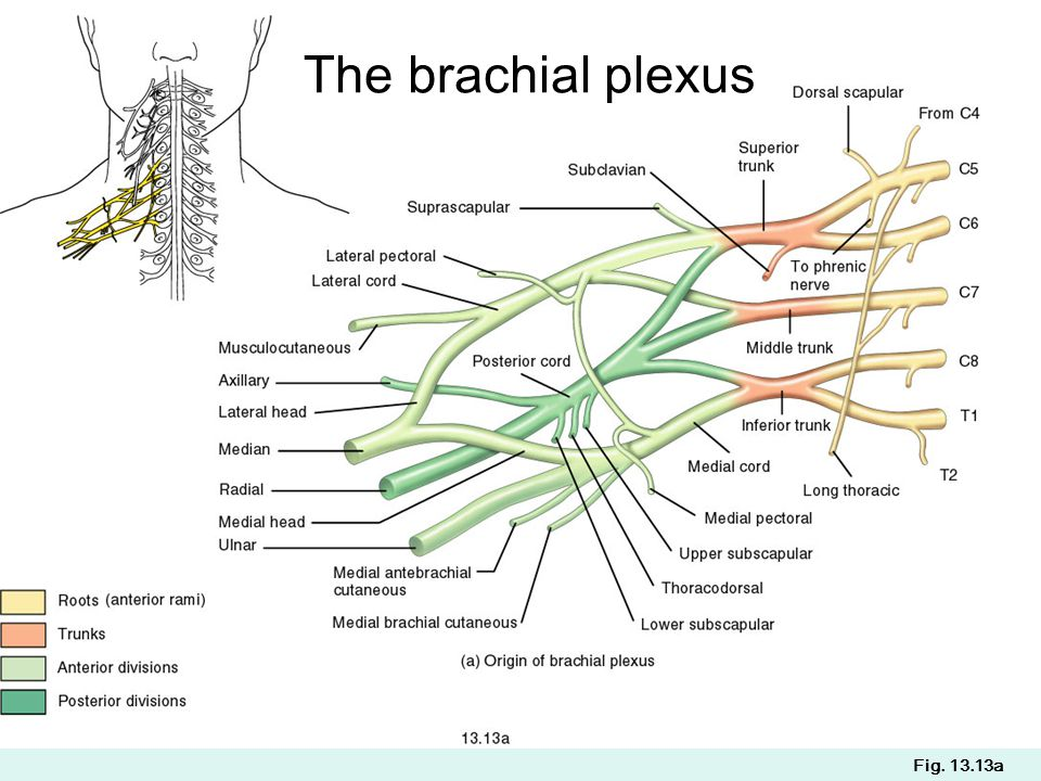 The brachial plexus Fig. 13.13a
