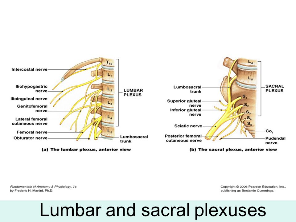 Lumbar and sacral plexuses