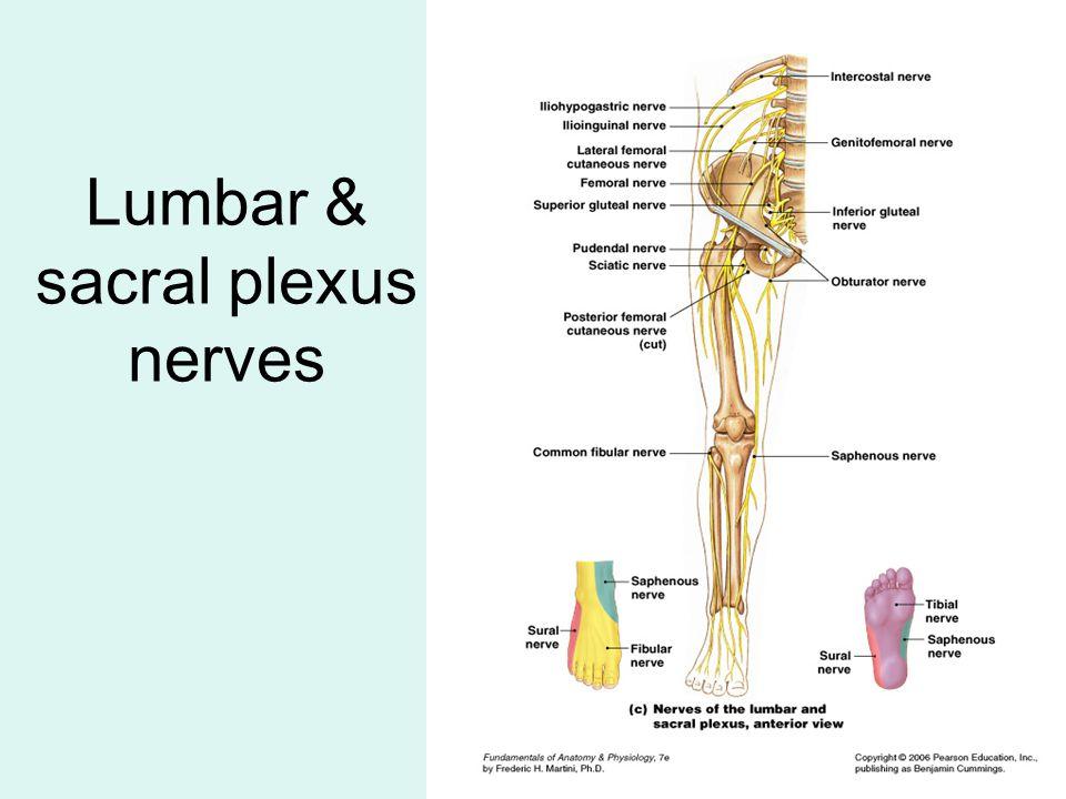 Lumbar & sacral plexus nerves