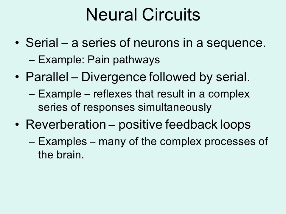 Neural Circuits Serial – a series of neurons in a sequence.