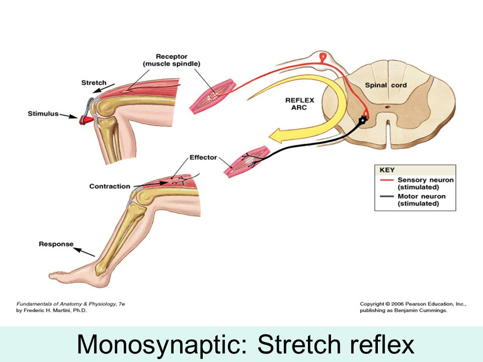 Monosynaptic: Stretch reflex