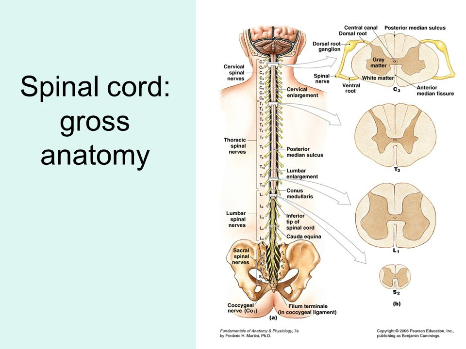Spinal cord: gross anatomy
