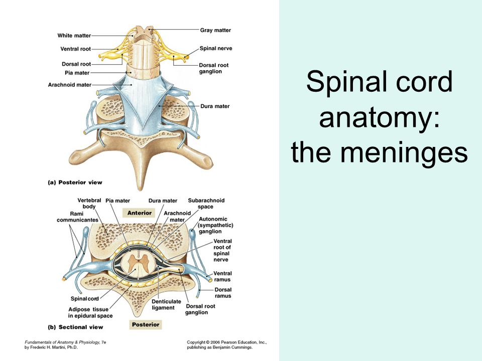 Spinal cord anatomy: the meninges