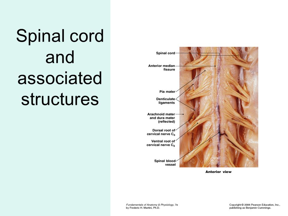 Spinal cord and associated structures