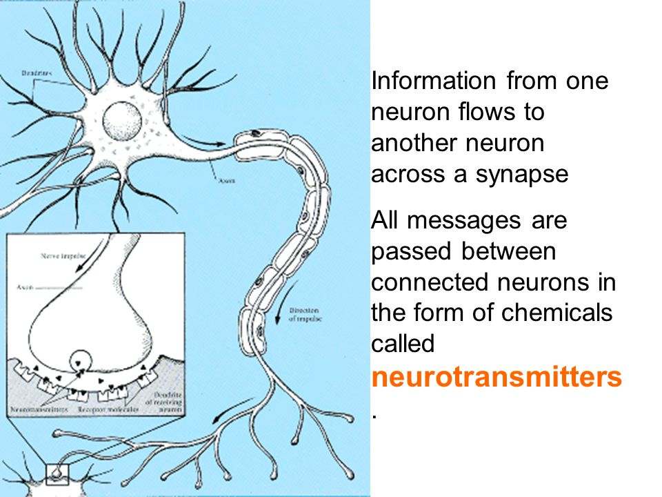 Information from one neuron flows to another neuron across a synapse