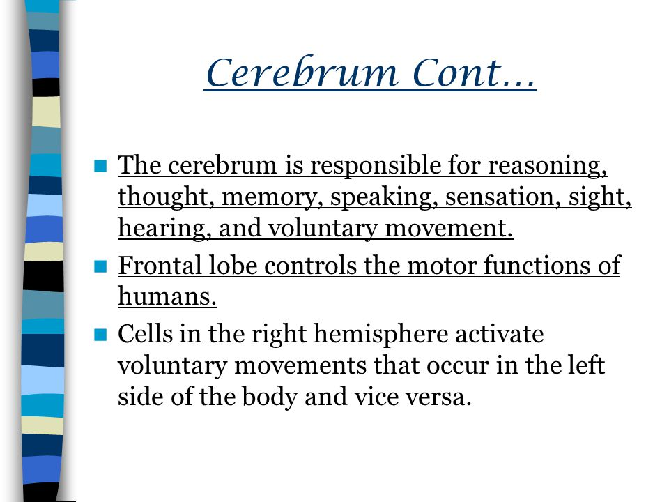 Cerebrum Cont… The cerebrum is responsible for reasoning, thought, memory, speaking, sensation, sight, hearing, and voluntary movement.