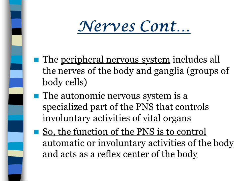 Nerves Cont… The peripheral nervous system includes all the nerves of the body and ganglia (groups of body cells)