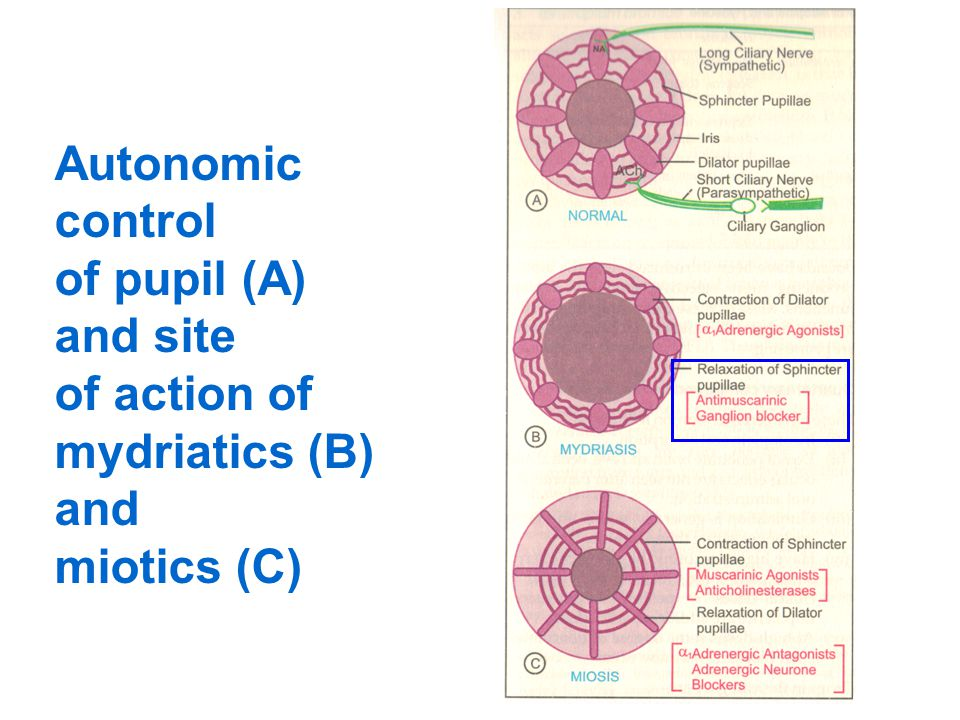 Autonomic control of pupil (A) and site of action of mydriatics (B) and miotics (C)