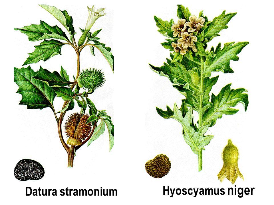 Hyoscyamus niger Datura stramonium