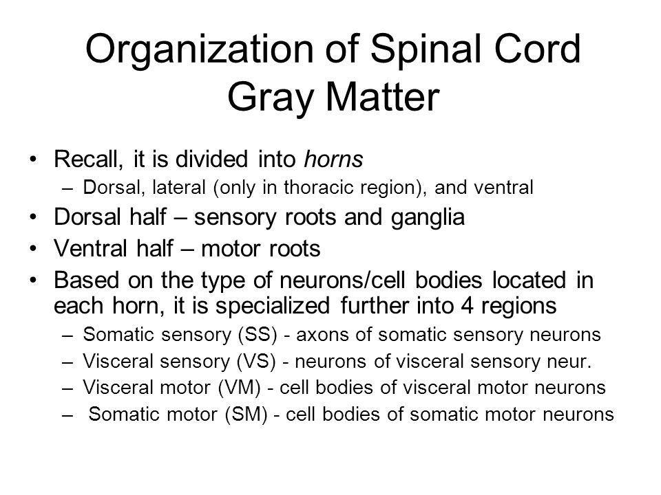 Organization of Spinal Cord Gray Matter