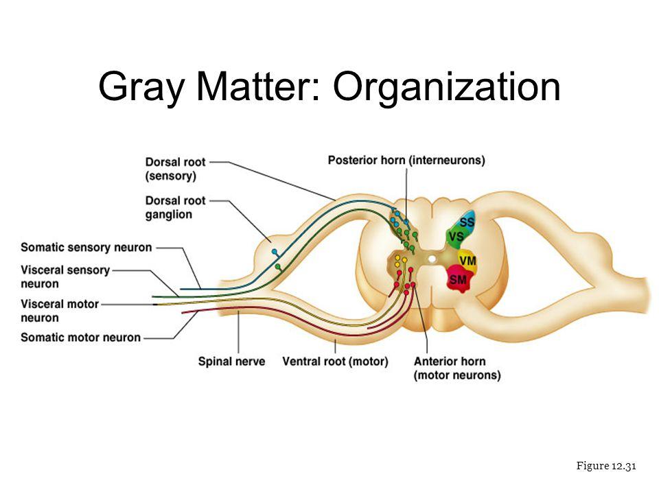Gray Matter: Organization